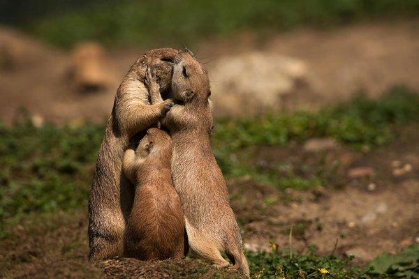 Une belle famille de marmotte