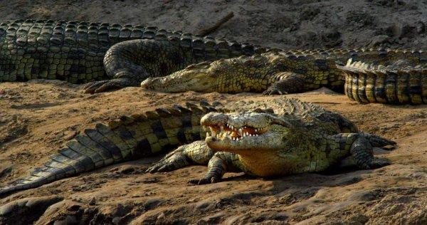 De très beaux crocodiles