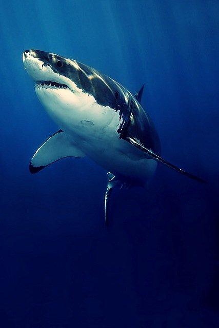Un somptueux requin blanc