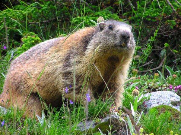 Une belle marmotte