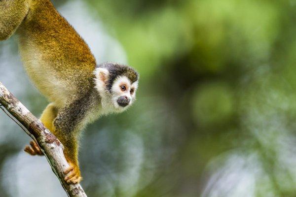 Un singe curieux