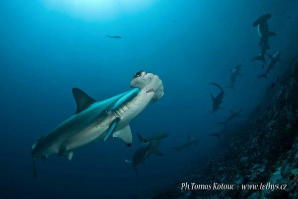 Des requins marteau en nombres (1/2)