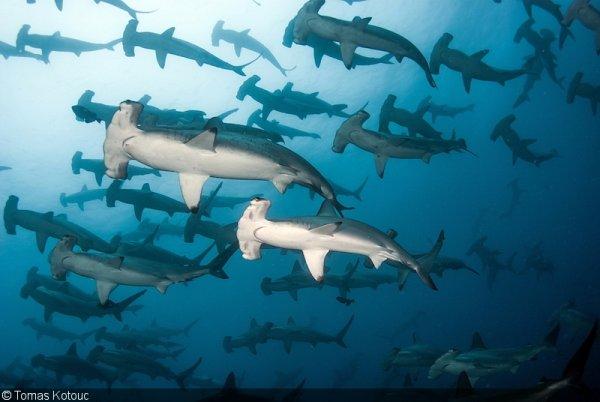 Des requins marteau en nombres (2/2)