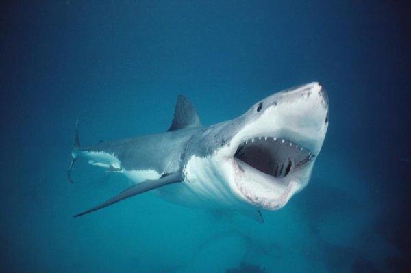 Un requin blanc qui m'a l'air d'être affamer (2/4)