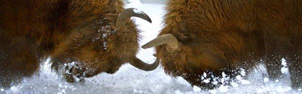 Un combat de bisons
