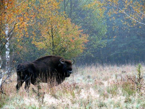 Un bison