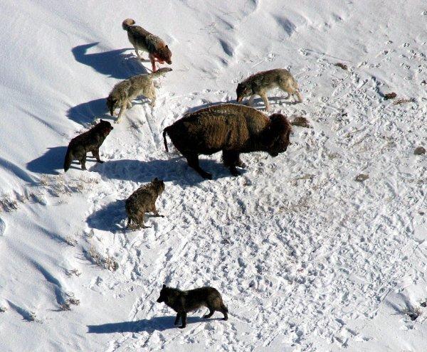 Des loups contre un bison