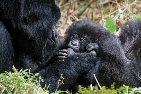 Des gorilles