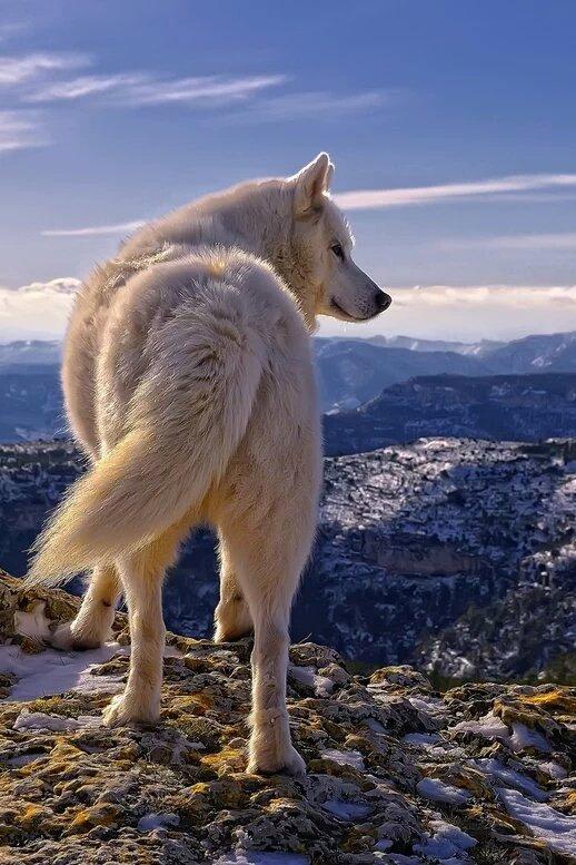 Un loup qui a une belle vue