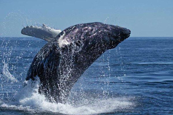 Le plongeon d'une baleine