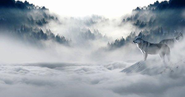 Un loup dans la brume