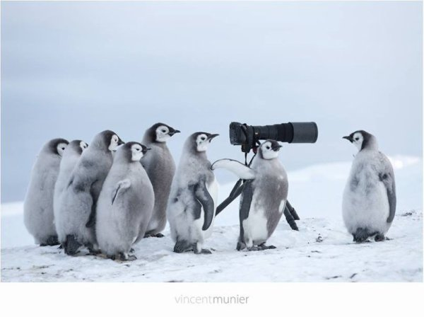 Les pingouins prennent la place de animal27