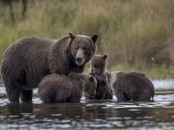 En Alaska, ours et loups seront chassés jusque dans leurs tanières