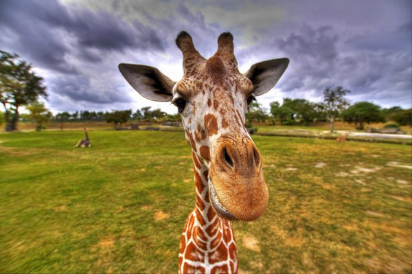 Gros plan sur une girafe