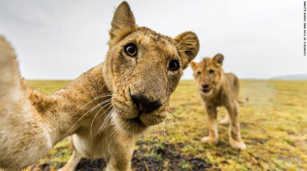 Gros plan sur des lionnes