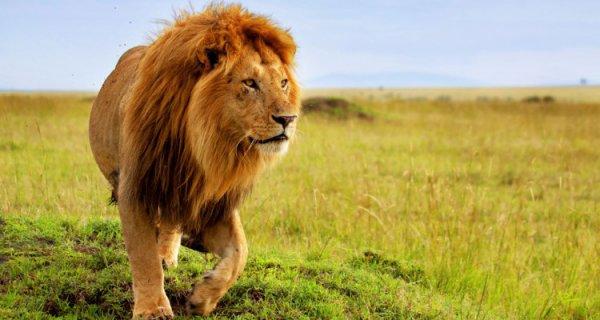 Gros plan sur un lion