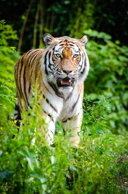 Un très beau tigre