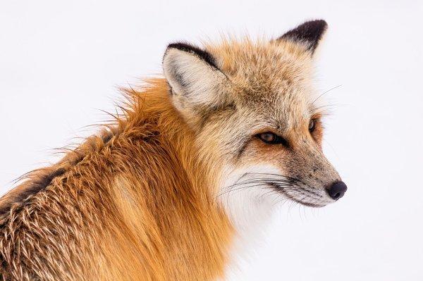 Un beau renard roux