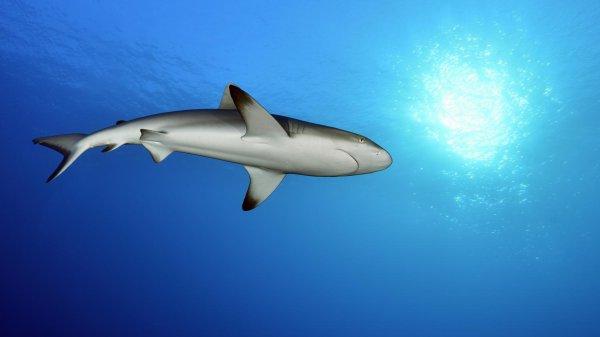 Quelques beaux requins (11/12)