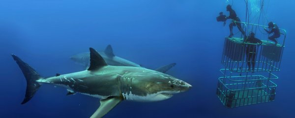 Quelques beaux requins (10/12)