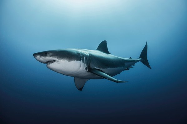 Quelques beaux requins (6/12)