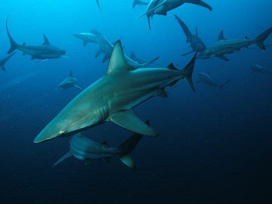 Quelques beaux requins (4/12)