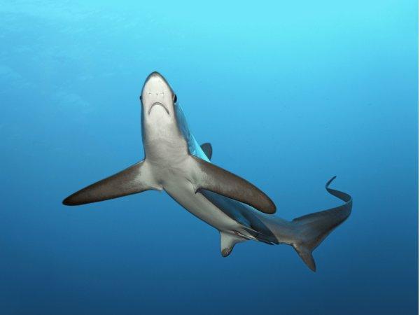 Quelques beaux requins (3/12)