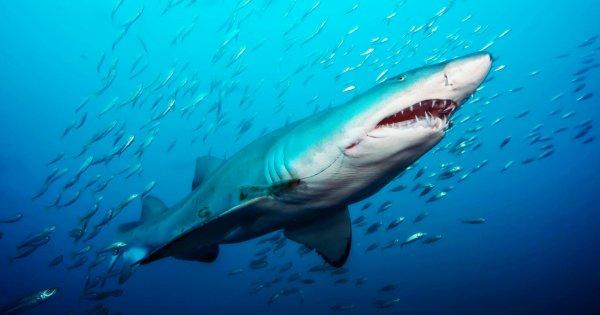 Quelques beaux requins (2/12)