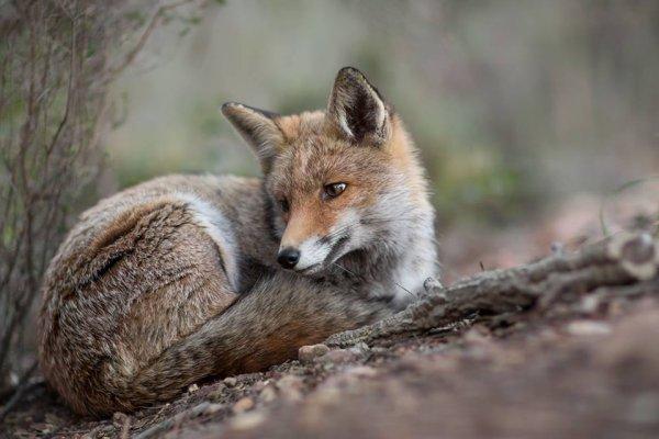 Que regarde ce renard ?