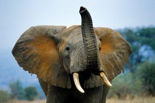 Que c'est beau un éléphant (2/2)