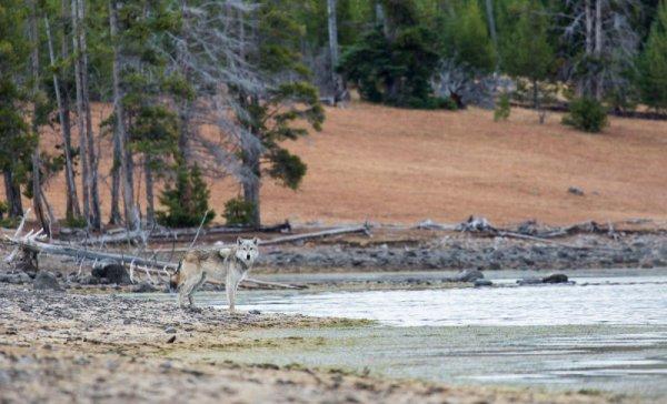 Un loup dans un beau paysage