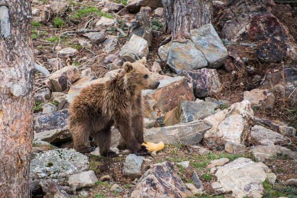 Ours des Pyrénées (7/10)