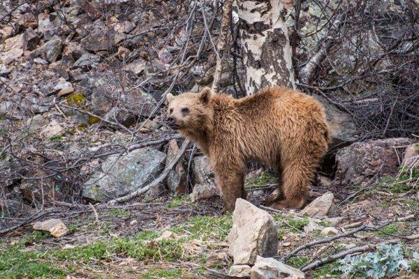 Ours des Pyrénées (5/10)