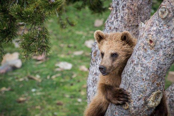 Ours des Pyrénées (4/10)