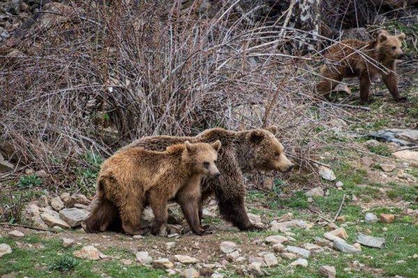 Ours des Pyrénées (1/10)