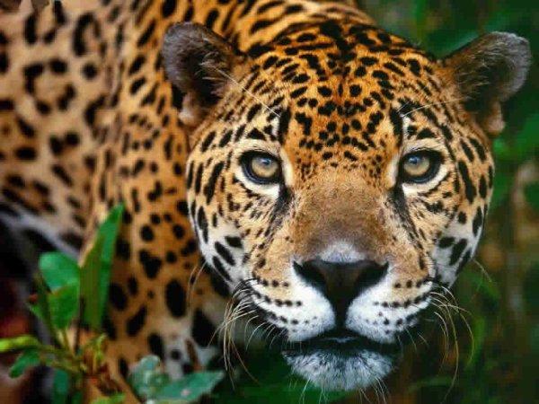 Un beau jaguar