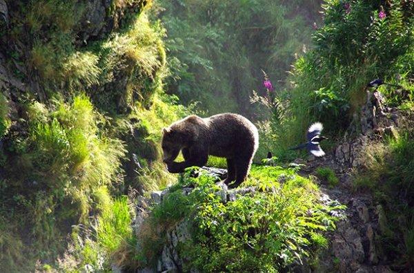 Un bel ours brun