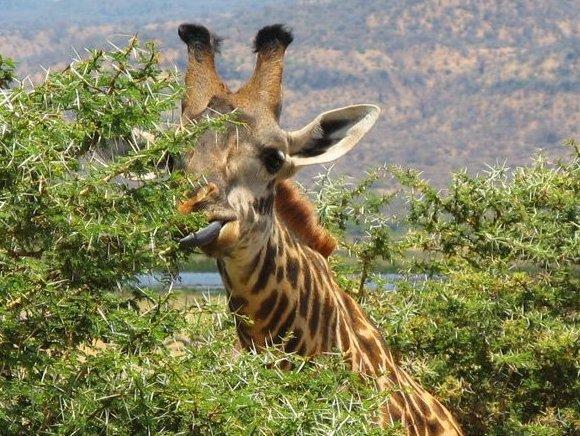 Une girafe qui préfère manger