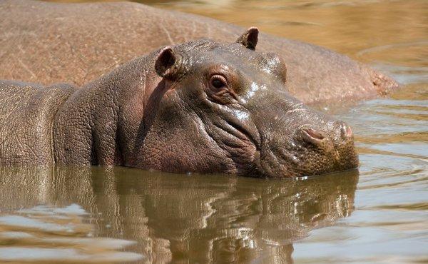 Un hippopotame qui se rafraîchi