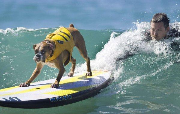 Un chien surfeur rapide