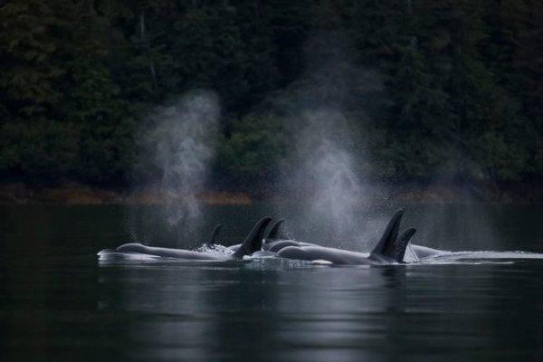 Un groupe d'orques
