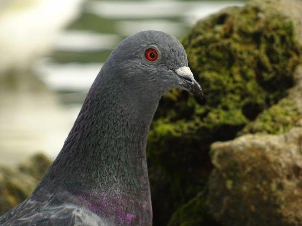 Quelques pigeons au bord de Seine