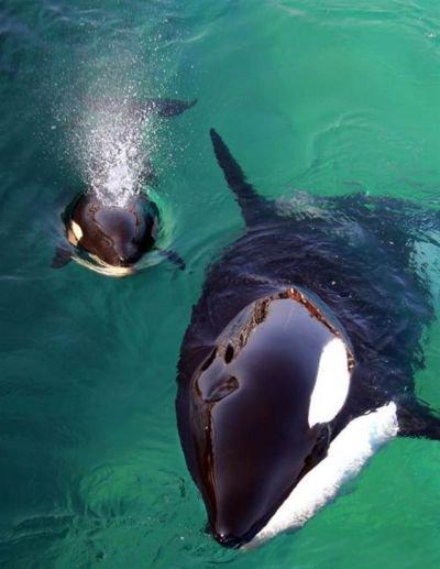 Une orque et son petit