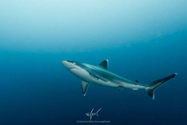 Un requin seul dans l'océan