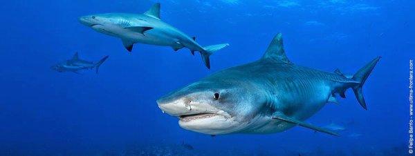 De beaux requins (2/6)