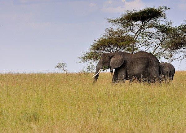 Des éléphants dans la savane