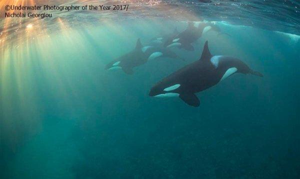 De magnifiques orques