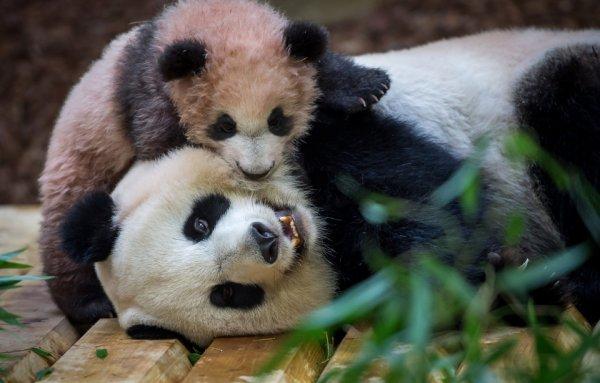 Bébé panda du zoo de Beauval: Cinq choses à savoir sur Yuan Meng à l'occasion de sa première sortie publique