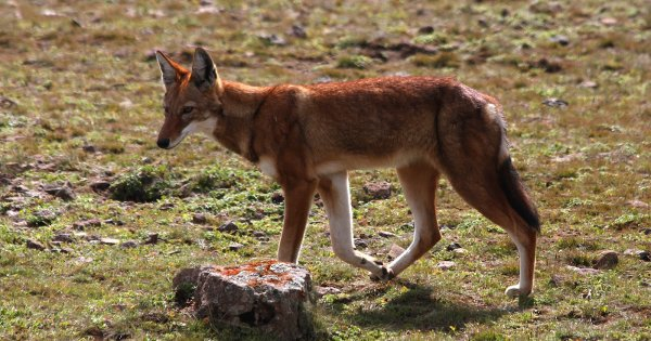 Loup d'Abyssinie (3/4)