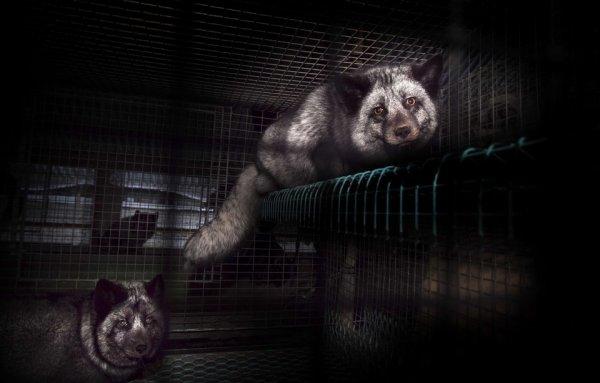 Les élevages d'animaux à fourrure bientôt interdits en Norvège